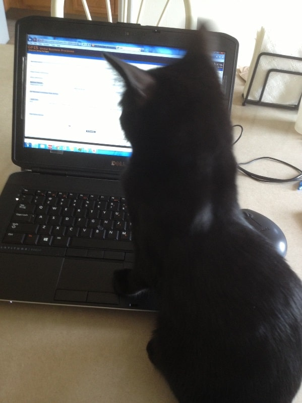 cat laptop